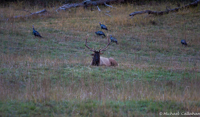 Bull Elk with turkey gobblers feeding close by. Cataloochee Valley North Carolina.