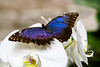 Blue Morpho on White Orchid