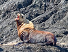 Sea Lion<br /> Tofino, British Columbia