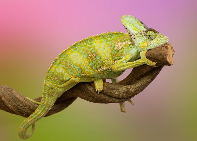 Chameleon March 2015