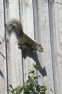 Another shot of the squirrel on the barn at Autrey Mill Nature Preserve in Alpharetta, Ga.