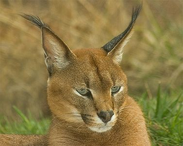 Caracal, OKC Zoo