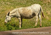 Wild donkey in Custer State Park in South Dakota; best viewed in the largest sizes