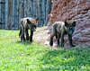 Wolf puppies at Bear Country in SD; best viewed in the largest size