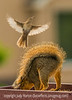 Squirrel Being Attacked by a Wren
