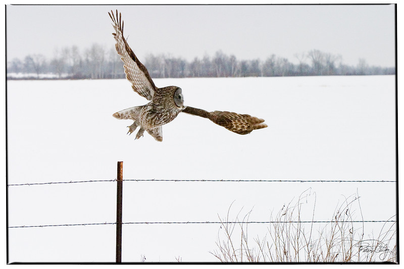 Owl Taking Off