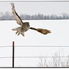 Owl Taking Off
