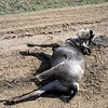 dead wildebeest