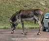 Wild donkey in Custer State Park in South Dakota; best viewed in the largest size
