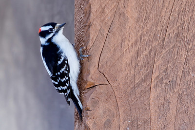 Pike Lake, Saskatchewan, Downy Woodpecker(Picoides pubescens) 2010-6
