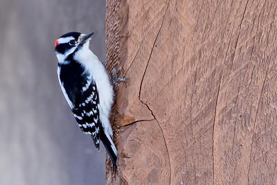 Pike Lake, Saskatchewan, Downy Woodpecker(Picoides pubescens) 2010-6