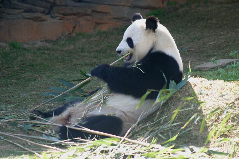 One of the two Great Pandas on display at Zoo Atlanta.  This is the male of the pair.