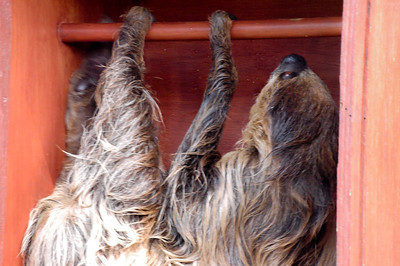 A Sloth at Colchester Zoo