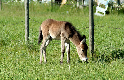 Our new neighbhor. The baby donkey is about 1 week old. His name is Jeremiah
