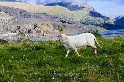 A Welsh sheep