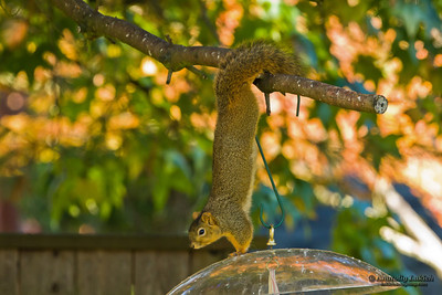 Squirrel attempts to get to a bird feeder.