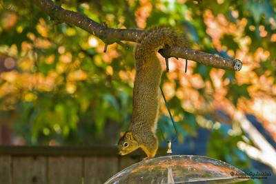 Squirrel attempts to get to a bird feeder.