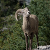 A bighorn ram gazes toward me at the lookout at the Banff gondola
