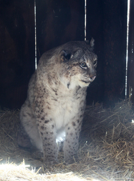 Rescued Canadian Lynx Hybrid. Snowshoe was someone's pet declawed and turned lose in the wild to starve. Now homed at the High Desert Museum in Bend, OR