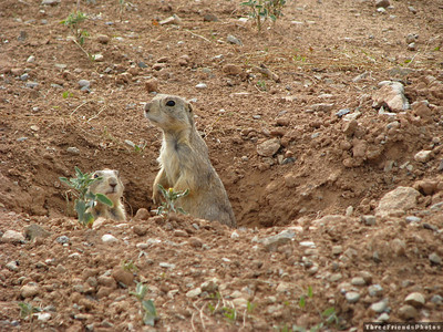 August - Ground squirrels near camp ground - Cortez, CO