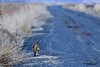 Bobcat (Lynx rufus).  The bobcat is a North American mammal of the cat family Felidae.