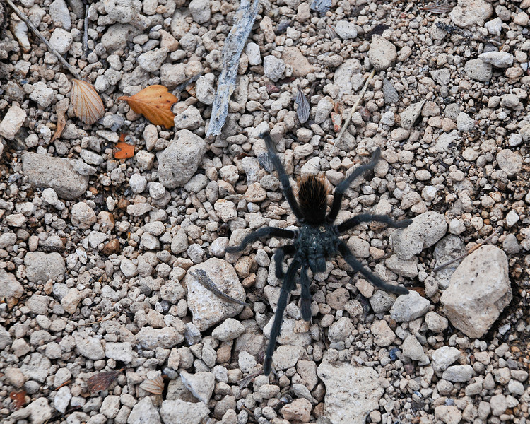 Bandelier Tarantula