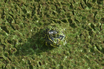 A turtle in the Wakodahachee Wetlands in Palm Beach peers up from the duckweed that covers the pond.