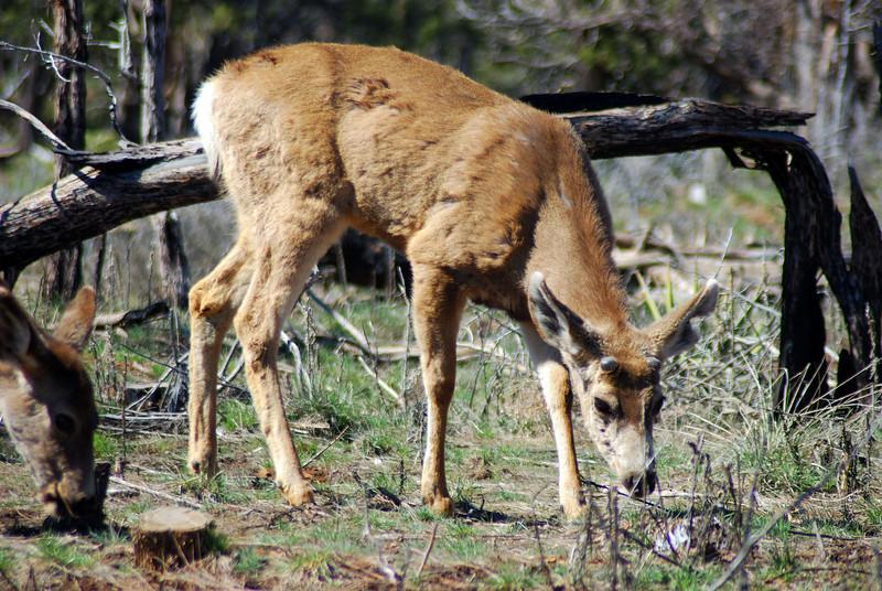 Deer by the road in Mesa Verde, SE Colorado. April 2008.