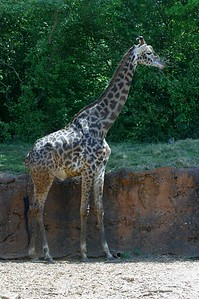Giraffes are quite fascinating creatures to watch.  This one is at Zoo Atlanta.