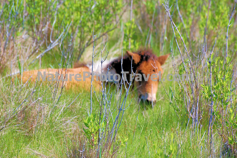 Chincoteague Pony - Foal in cover.
