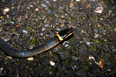 Northern Ring Neck Snake