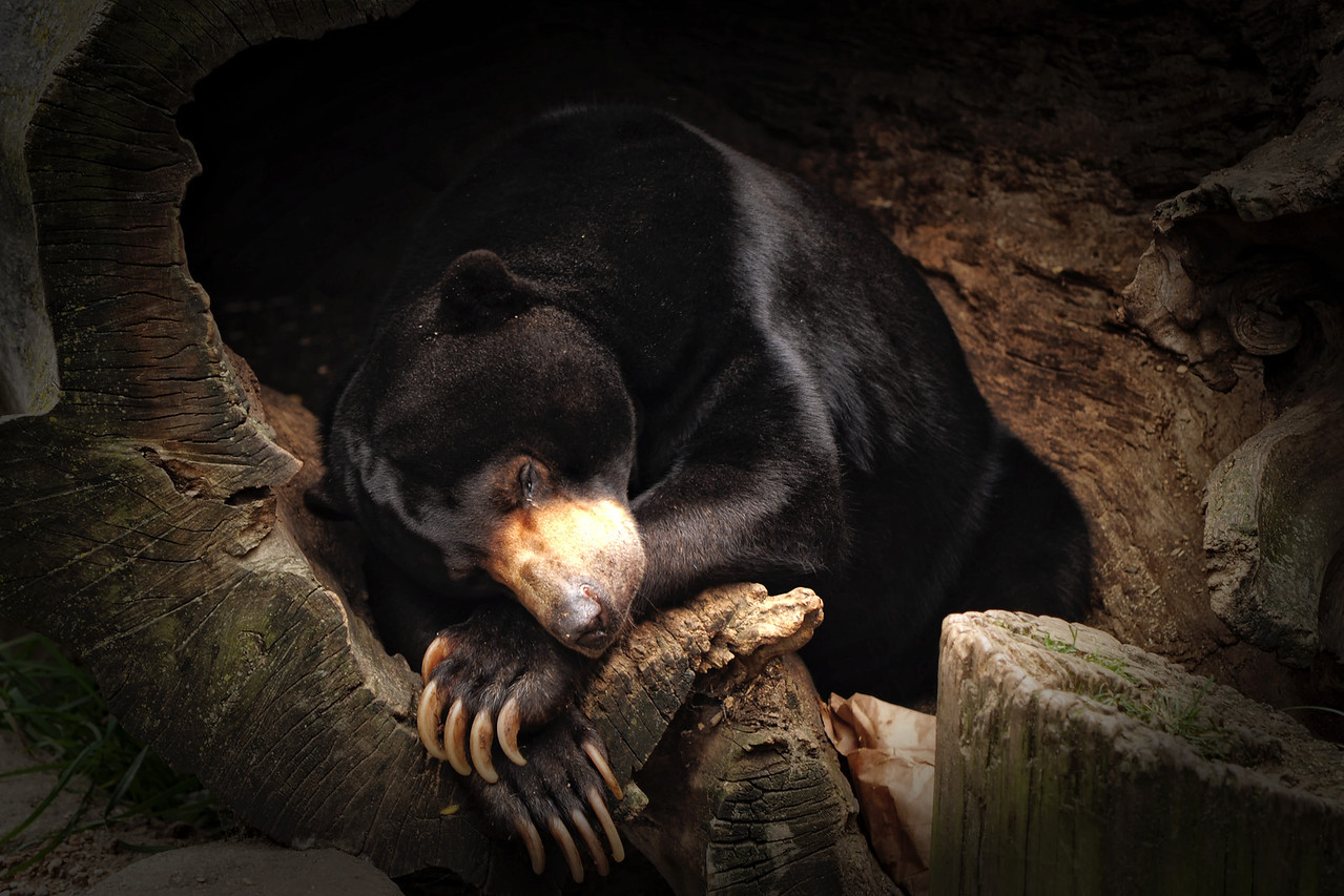 Bear Beauty Nap
