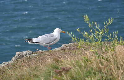 Seagull walking on cliff edge