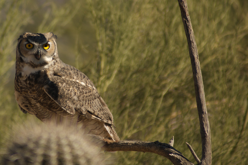 Owl in the desert morning.
