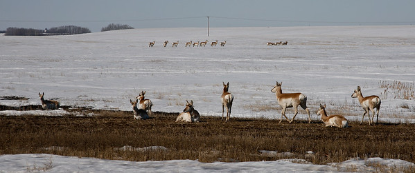 Antelope, Saskatchewan, Prairies, April 2009,_