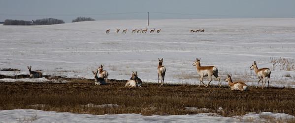 Antelope, Saskatchewan, Prairies, April 2009,_