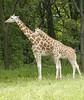 Amanda's Giraffes