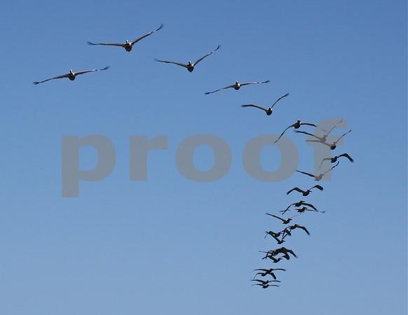 Amazing Pelicans fly up the Malibu coast