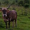 Vaca en un prado de Irati