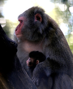Macaca Mulatta Mother  and Baby -11