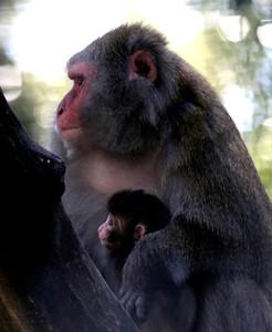 Macaca Mulatta Mother  and Baby -11