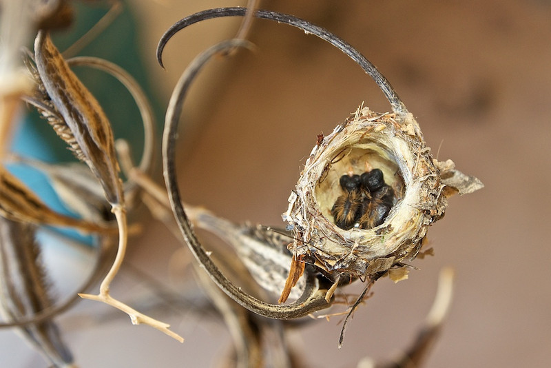 Hummingbird chicks in the nest