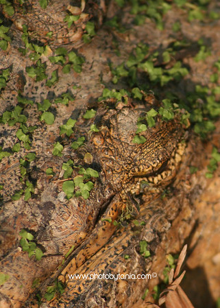 Croc in camo, Northern Territory, Australia.  See more photos in the archive