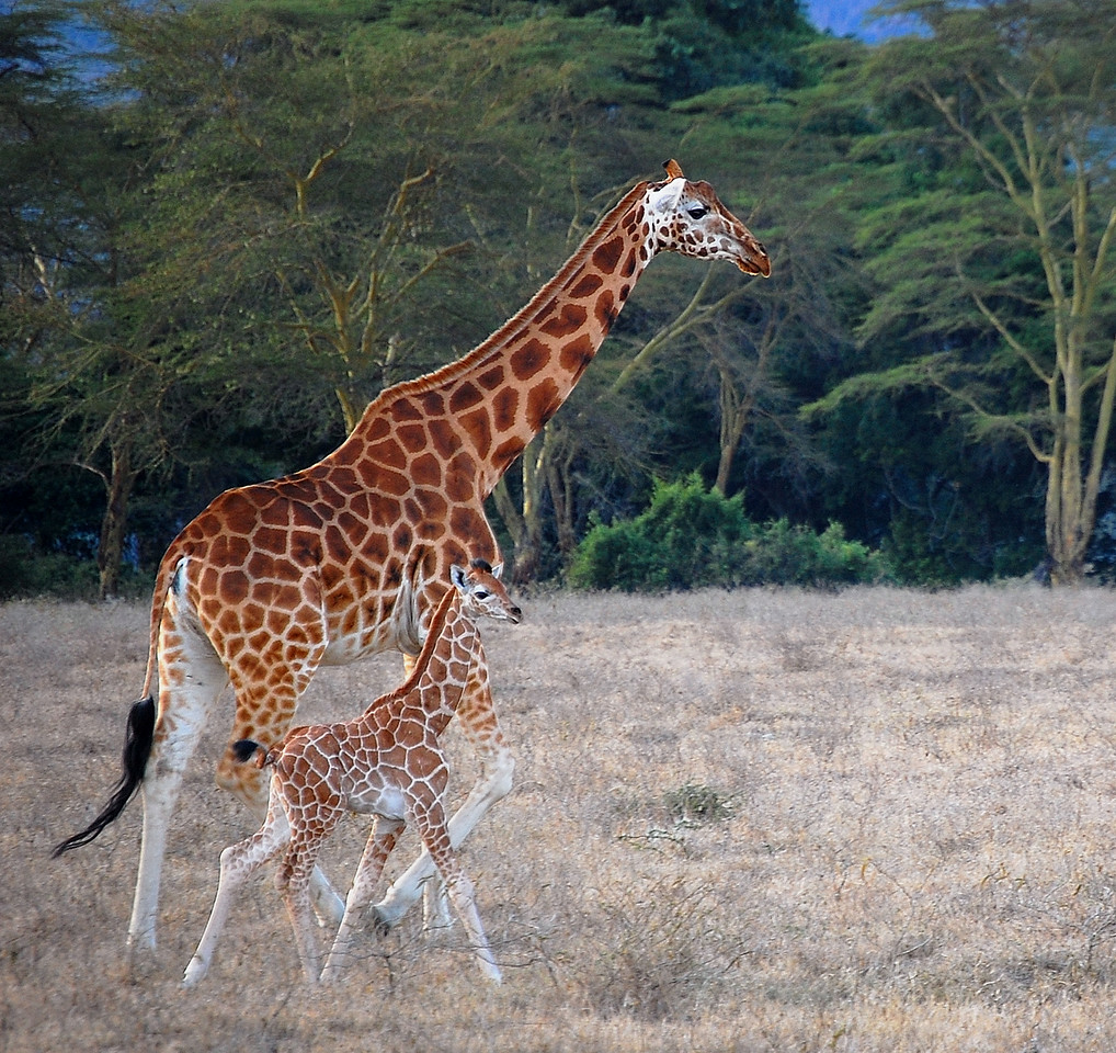 Giraffe and Her Young