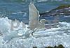 Egret Wings Extended