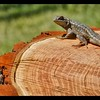 Western Fence Lizard—Sceloporus occidentalis