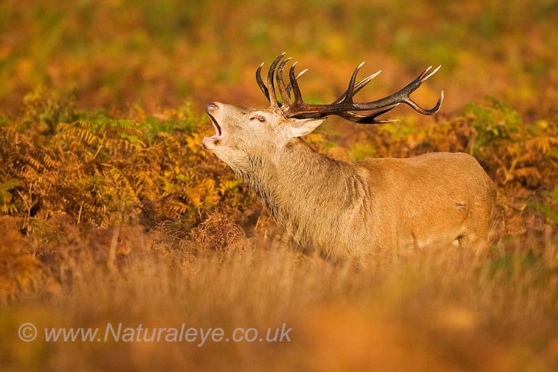 Red Deer Stag roaring in bracken