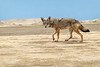 Alert Coyote on Sand Dunes on Isla Magdalena