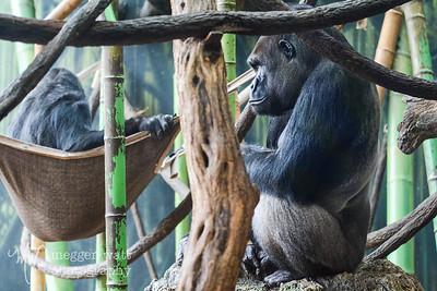 Gorillas, Lincoln Park Zoo