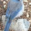 Bluebird, AZ